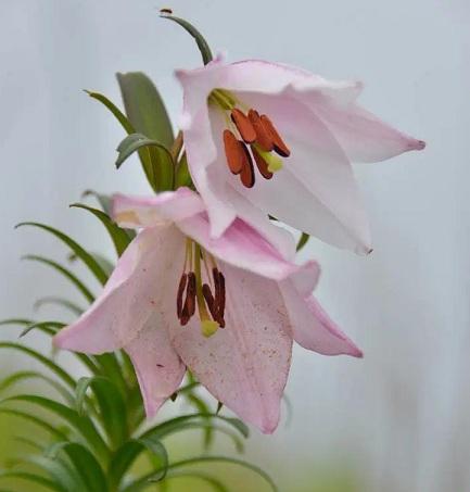 shirui-lily