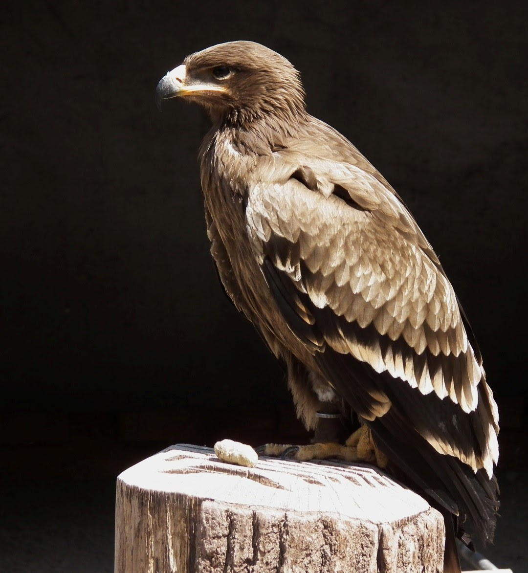 Steppe-Eagle