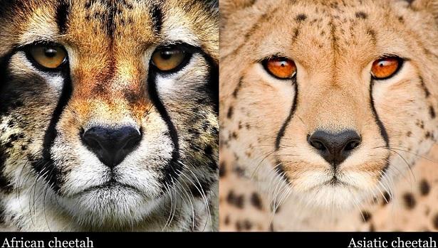 African-cheetah