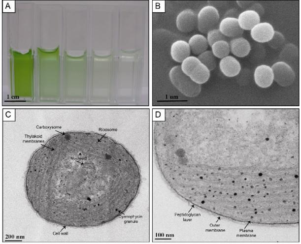 Synechococcus