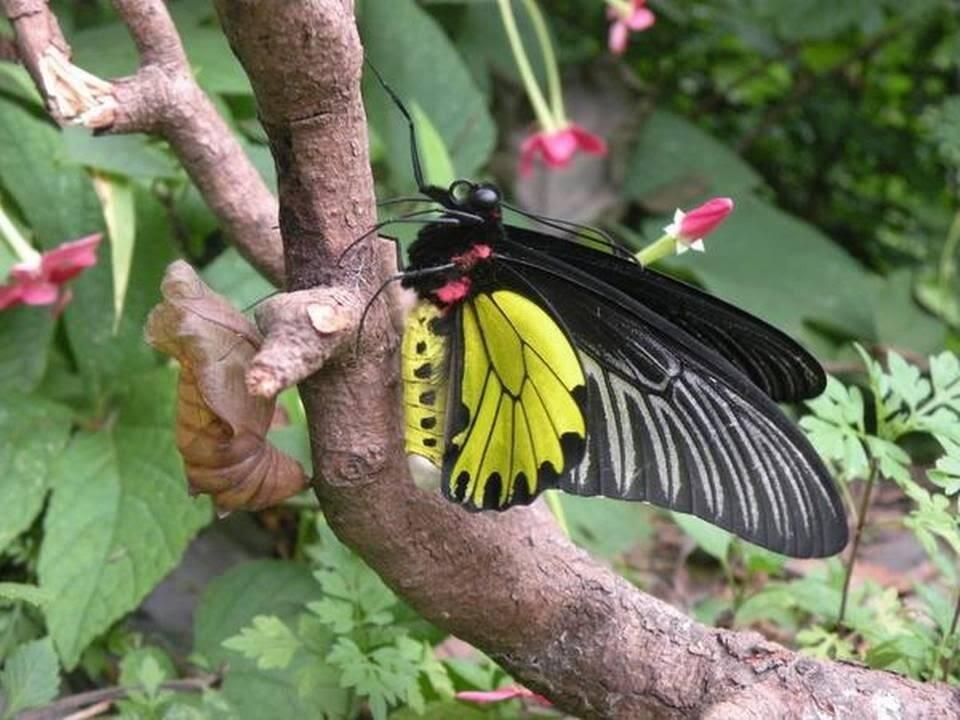 Golden-Birdwing