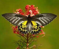Southern-Birdwing