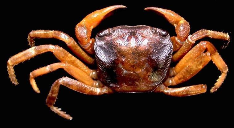 Abortelphusa-Namdaphaensis