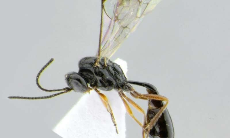Stethantyx-Covida