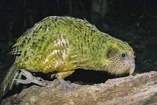 Kakapo-Parrot