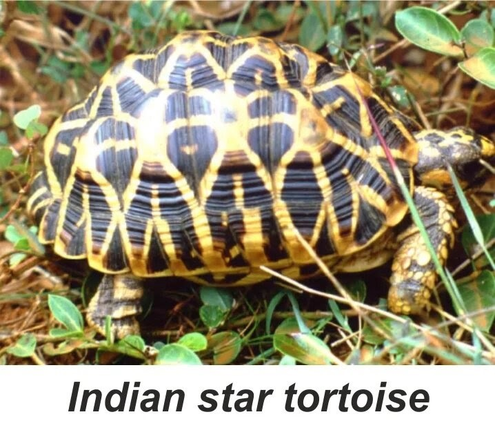 Indian-star-tortoise