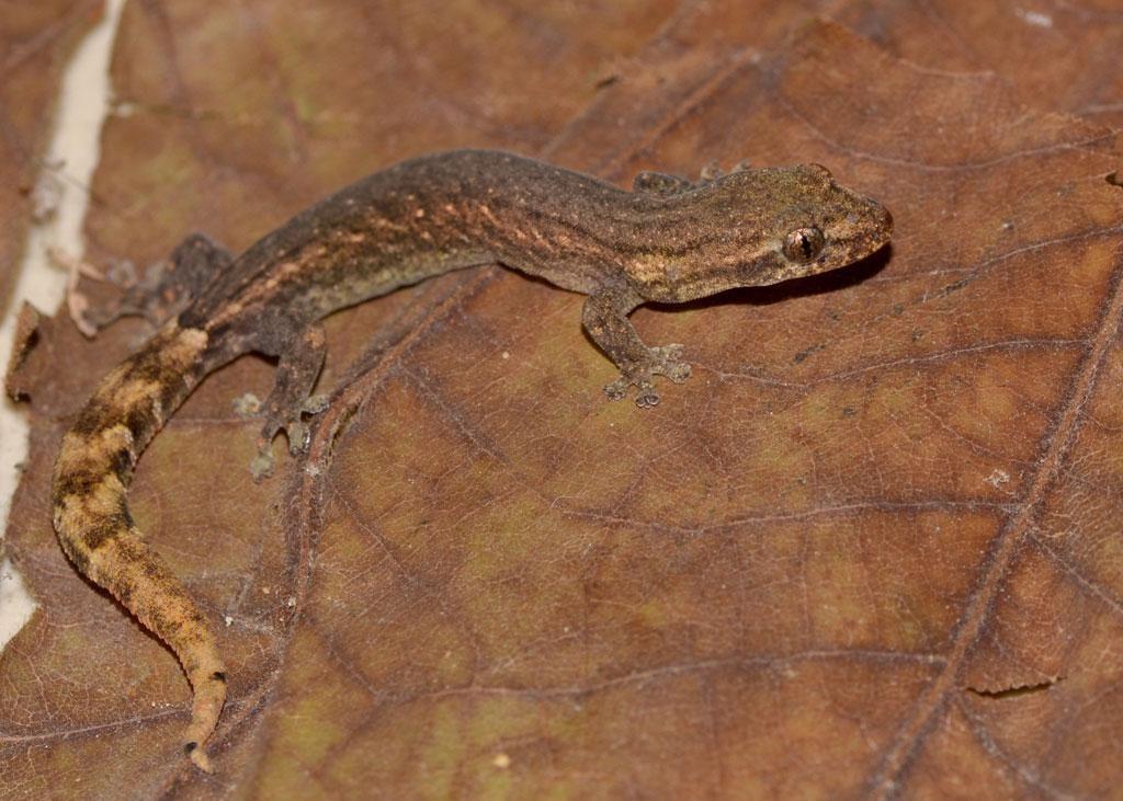 Gecko-Species