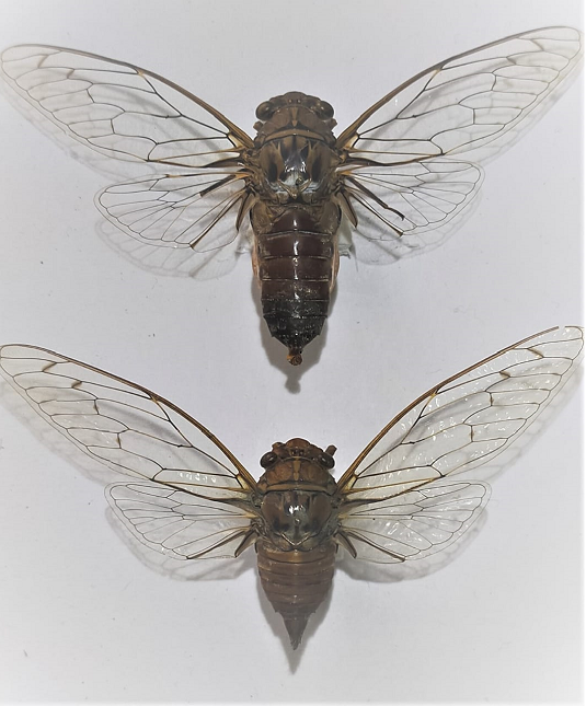 Cicada-Species