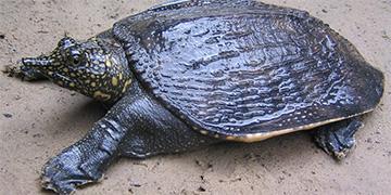Black softshell turtle