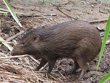 Pygmy Hogs